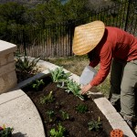 Starter plants included lettuces, strawberries, poppies and a wide variety of culinary herbs.