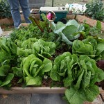 The center 4'x4' bed with very happy lettuces, greens, cabbage and spinach.