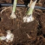 Bringing garlic up with a fork