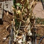 Shopping basket of Elephant Garlic