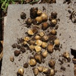 Seed garlic for Nov. 2009-some seeds stayed in the ground