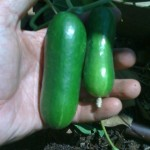 Persian Cucumbers from Johnny's seeds