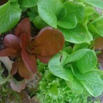 Fedco Seed Winter Lettuce Mix