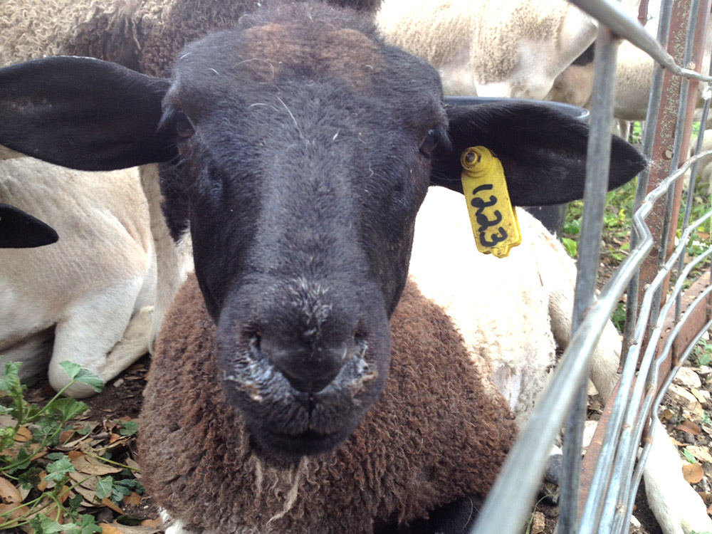 Dorper sheep from Roeder Farm.