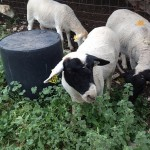 Dorper sheep with their new ear tags.