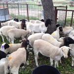 Dorper sheep with their sporty new hair dye.