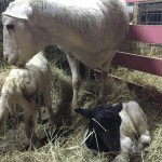 Dorper ewe and twin lambs