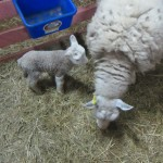 Cheviot ewe and newborn Bohemian Bounty