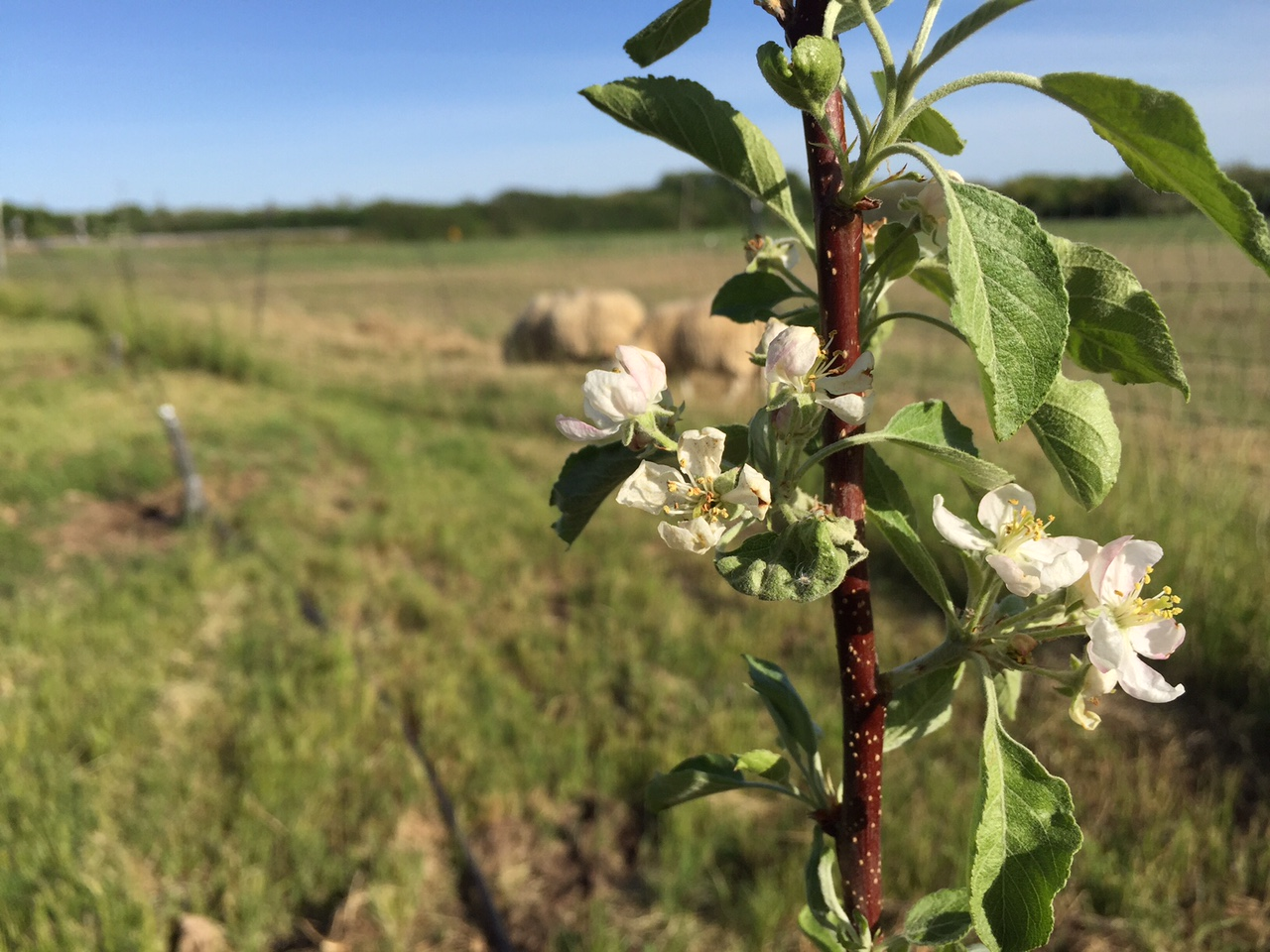 Cider apple blossom and sheep