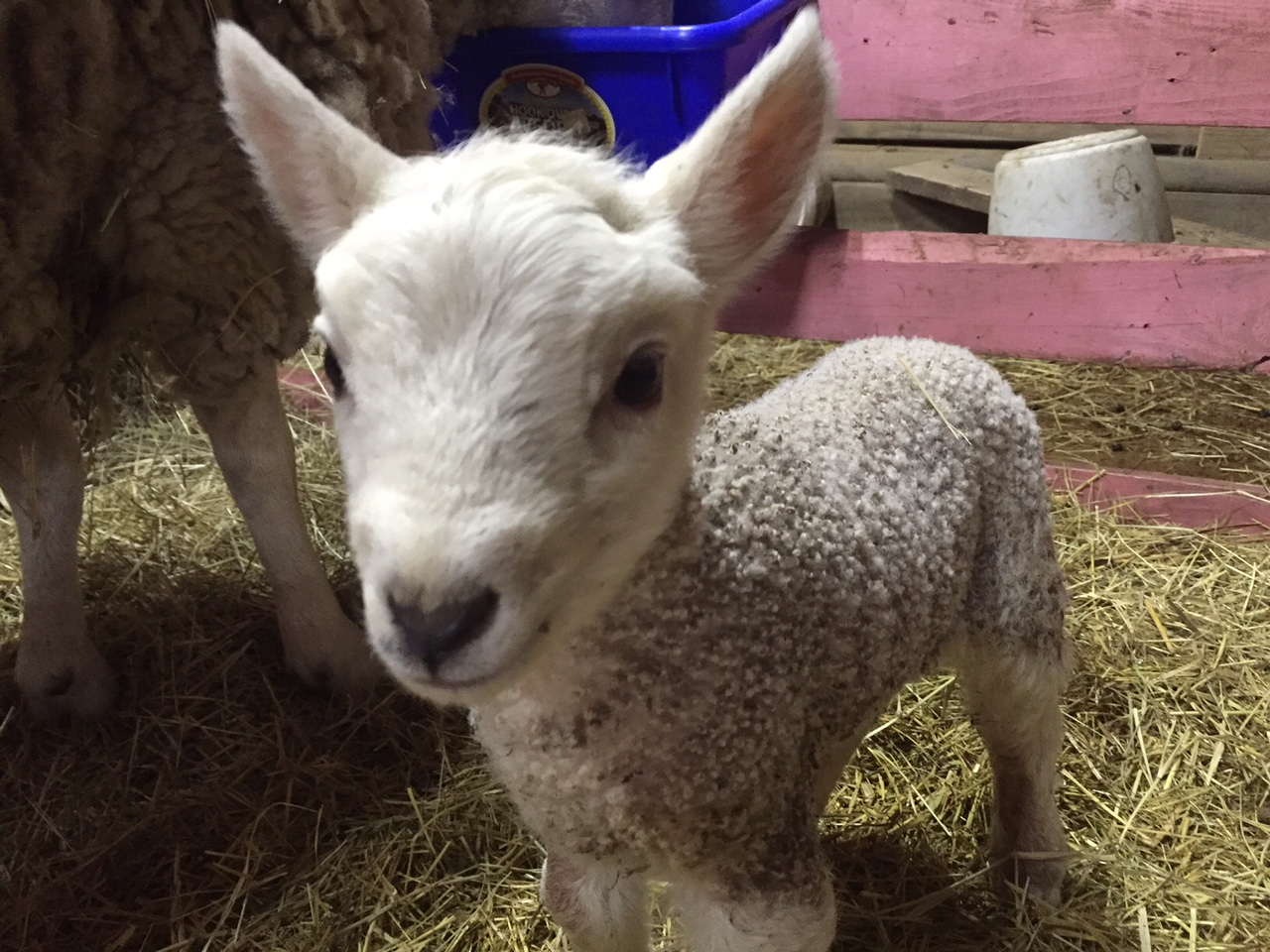 New registered miniature cheviot ram