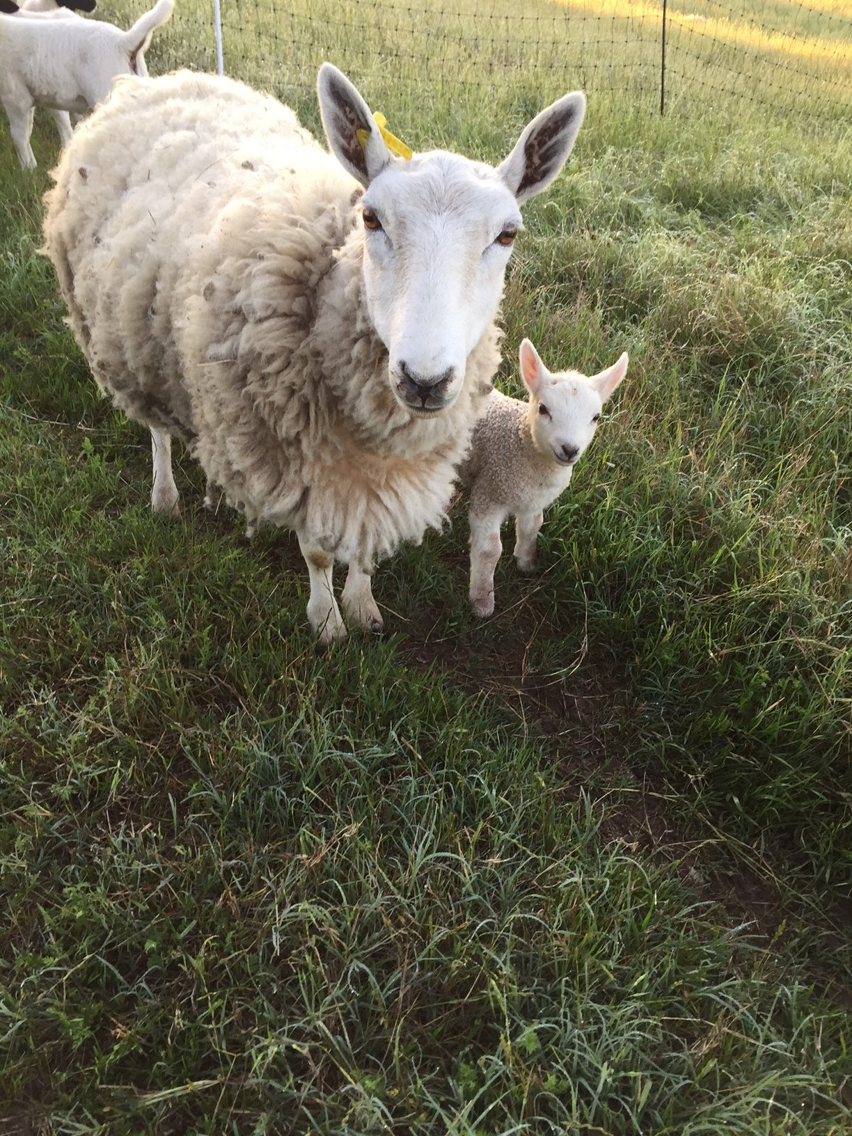 Registered Miniature Cheviot sheep and new baby ram